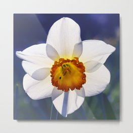the genus of narcissus Metal Print