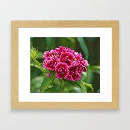 Deep Pink Turkish Carnation Flower 1 Framed Art Print