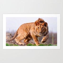 Lion Stalking Art Print
