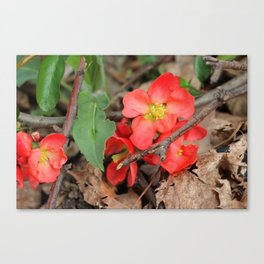 Japonica blossoms II Canvas Print