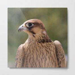 Falco peregrinus pelegrinoides  Metal Print