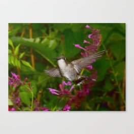Hummingbird and pink agastache flower 44 Canvas Print