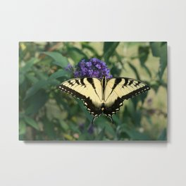 Perfectly Aligned Butterfly on Butterfly Bush (Photography: Critters and Creatures) Metal Print