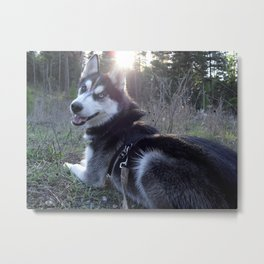 Siberian Husky Colt Metal Print
