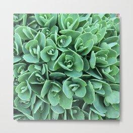 Green Stonecrop flowers Metal Print