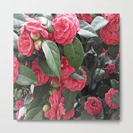 Camellia Blooms Metal Print