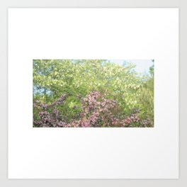 blooming cherry trees in the spring Art Print