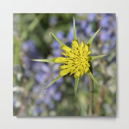 Yellow salsify wildflower against lupine Metal Print