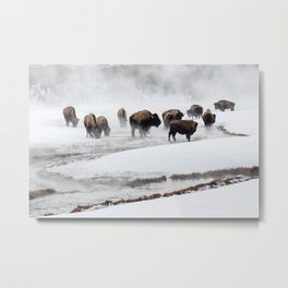Yellowstone National Park - Bison Herd Metal Print