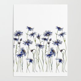 Blue Cornflowers, Illustration Poster