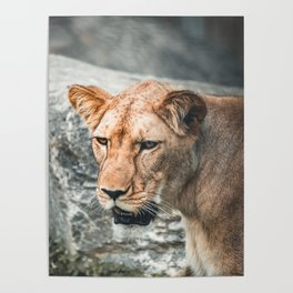 hunry Lion Poster