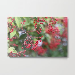 Red Holly Berries Metal Print
