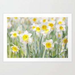 White and yellow daffodils Art Print