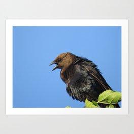 Brown headed Cowbird Art Print
