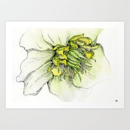 Watercolor Helleborus Art Print