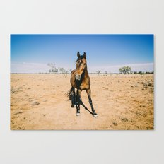 Brumby Canvas Print