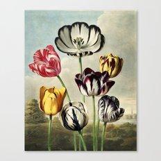 Tulips : Temple of Flora of New illustration of the sexual system of Carolus von Linnaeus Canvas Print