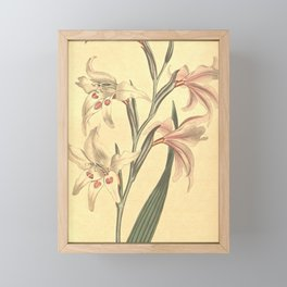 Flower 625 gladiolus blandus Fairest Corn Flag10 Framed Mini Art Print