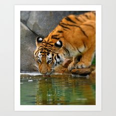 A thirsty Amur tiger. Art Print