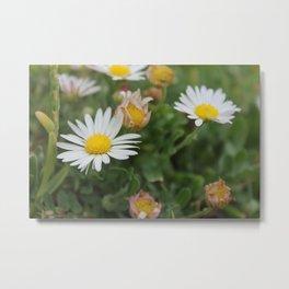 Little Daisys Metal Print