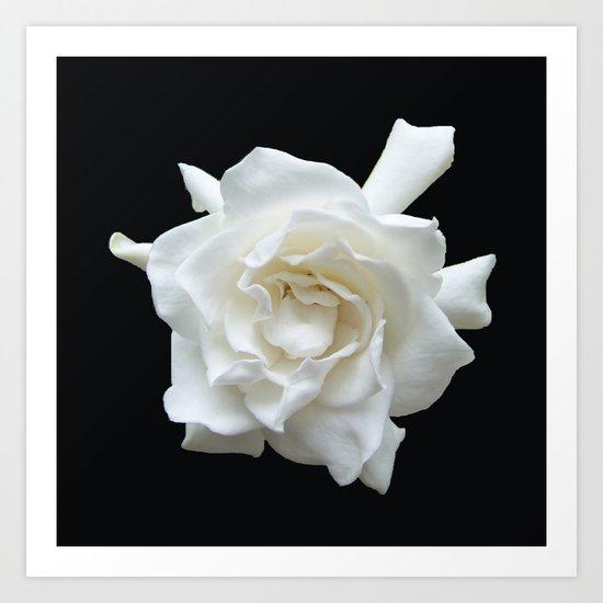 Gardenia on Black DPG150524 by csteenart
