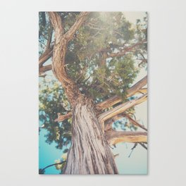 looking up through the leaves of the Juniper Tree ... Canvas Print