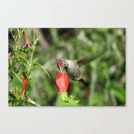 Hummingbird and The Flower Canvas Print