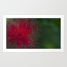 Macro photograph of the Calliandra flower. Art Print