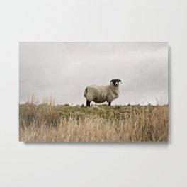 Ram, leader of the pack | Scotland, UK Metal Print