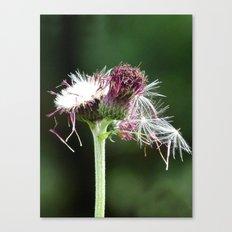Thistle Seedhead Canvas Print