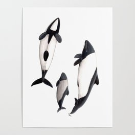 Commerson´s dolphins Poster