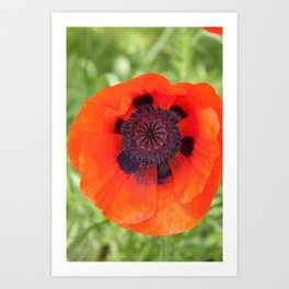 A Perfect Poppy Art Print