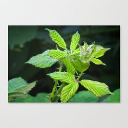 Blackberry Leaves Canvas Print