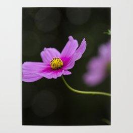 pink Cosmea summer flower Poster