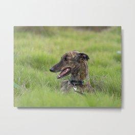 Dusty the brindle greyhound Metal Print