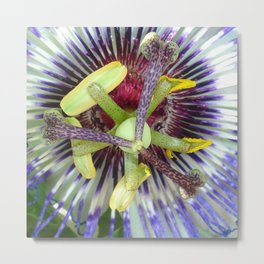 Passion Flower Close Up Metal Print