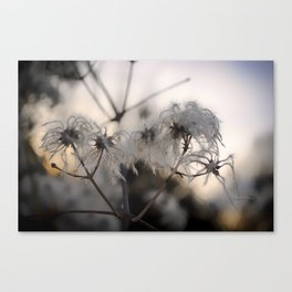 Old mans beard Canvas Print