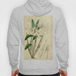 Dendrobium draconis (as Dendrobium eburneum) Curtis' 90 (Ser. 3 no. 20) pl. 5459 (1864) Hoody