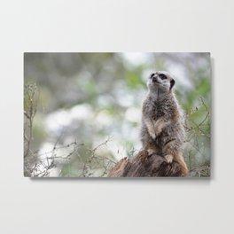 Meerkat on guard duty Metal Print