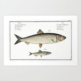 1 Herring (Clupea Harengus) 2 Sprat (Clupea Sprattus) from Ichtylogie ou Histoire naturelle generale Art Print