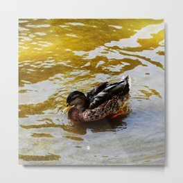 Duck swimming in golden water Metal Print