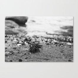 Sea Urchin on an Atlantic Shore Canvas Print