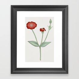 Silene Coronaria Framed Art Print