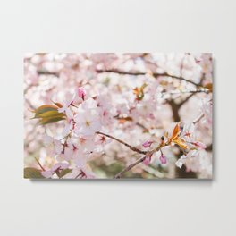 Cherry Blossoms in Full Bloom Metal Print