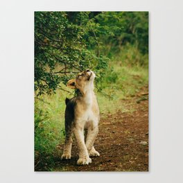 Lion Cub 4 Canvas Print