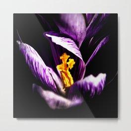 Dark Violet Or Purple Color Crocus Flower, Shining Yellow Stigmas Metal Print