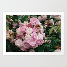 The smallest pink roses Art Print