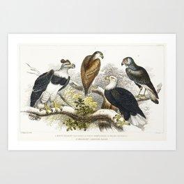 White Headed Sea Eagle, Great Harpy Eagle, Chilian Sea Eagle, and Brazilian Caracara Eagle from A hi Art Print