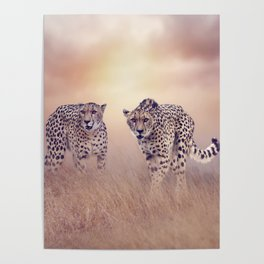 Two  Cheetahs walking in the grassland at sunset Poster
