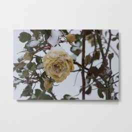 Snow covered white rose Metal Print
